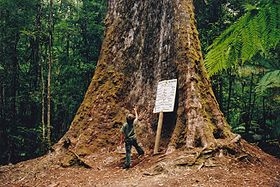 Tasmania logging 01 under tallest tree.jpg