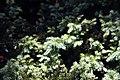 Taxus baccata Repandens 1zz.jpg