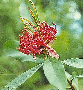 Grevilleoideae - Telopea oreades, the Gippsland waratah