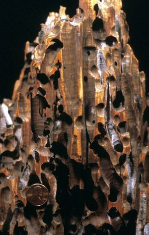 Wood preservation - A modern wharf piling bored by bivalves known as shipworms.