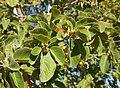 Terminalia hadleyana subsp. carpentariae foliage.jpg