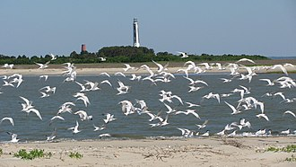 Cape Romain National Wildlife Refuge - Image: Terns on Cape Island