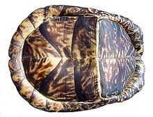 hand holding a turtle up so that we see the bottom of it. It has a pleated look with noticeable hinging and bending of the lower shell, running crosswise.