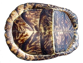 Common box turtle - The hinges of the box turtle's lower shell