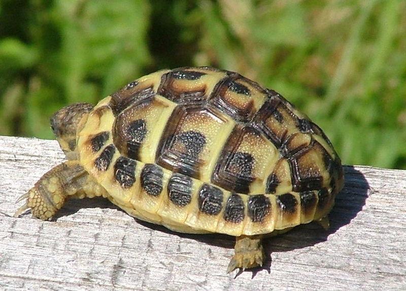 File testudo hermanni wikipedia - Pagine di colorazione tartaruga ...