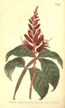 The Botanical Magazine, Plate 497 (Volume 14, 1800).png