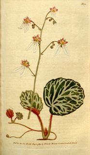 <i>Saxifraga stolonifera</i> species of plant