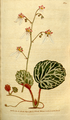 The Botanical Magazine, Plate 92 (Volume 3, 1790).png