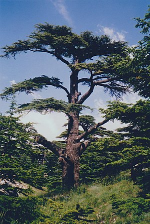 Cedars of God - Image: The Cedars of God, Lebanon 2002