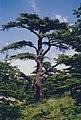 The Cedars of God, Lebanon 2002.jpeg