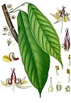 Theobroma cacao - Köhler–s Medizinal-Pflanzen-136.jpg