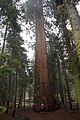Theresa poses with a giant Sequoia! (20627824040).jpg