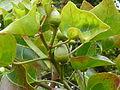 Thespesia acutiloba, blomknoppe, Walter Sisulu NBT.jpg