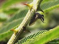Thorned tree-hopper from W-Java (4716989454).jpg