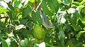 Thraupis sayaca feeding on guavas (2835945651).jpg