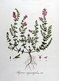 Thymus angustifolius — Flora Batava — Volume v8.jpg