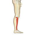 Tibia - lateral view.png