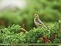 Tickell's Leaf Warbler (Phylloscopus affinis) (45341028622).jpg