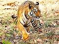 Tiger-INDIA-Maya.JPG