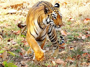 Project Tiger - Bengal tiger