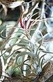 Tillandsia circinata. Nassau. Great Hair key (27094003119).jpg