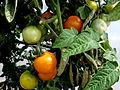 Tomate Blondkoepfchen P1020488.JPG