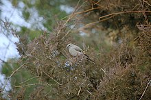 Townsend's Solitaire Vadnais Lake 2.jpg