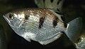 Toxotes jaculatrix (banded archerfish) 1 (15534079567).jpg