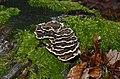 Trametes versicolor - Coriolus versicolor - Polyporus versicolor - Schmetterlingstramete - Bunte Tramete - Schmetterlingsporling - 02.jpg