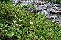 Trautvetteria caroliniensis 06.jpg