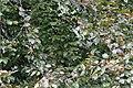 Tree Sparrows (Passer montanus) in Beech (Fagus sylvatica) - Oslo, Norway 2020-09-02.jpg