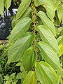 Trema orientalis 15.jpg