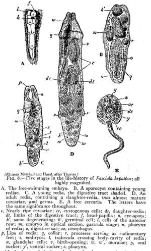 Trematode life cycle stages - Life-history stages of the trematode flatworm Fasciola hepatica from 1911 Encyclopædia Britannica