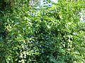 Trepadeiras e árvores 2.jpg