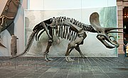Side view of Triceratops skeleton, Senckenberg Museum.