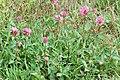 Trifolium.pratense2.-.lindsey.jpg