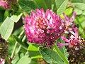 Trifolium medium0.jpg