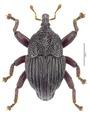 Trigonopterus oberprieleri Riedel, holotype.tif
