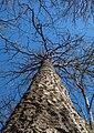 Trunk and top of a bare tree in Gullmarsskogen.jpg