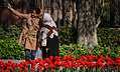 Tulip flowers in Tehran's parks, Nowruz 2018 (13961228001128636570940684165045 65516).jpg