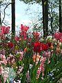 Tulpen und Hyazinthen in Keukenhof.jpg