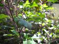 Tulsi leaf (4688465670).jpg