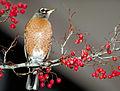 Turdus migratorius Thomas Barnes.jpg