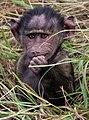 Two Week Old Baby Baboon, Maasai Mara (48152975227).jpg