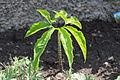 Typhonium venosum leaf 6485.jpg