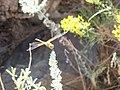 US Utah Dragonfly in Antelope Island.JPG