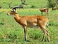 Uganda Kobs (Kobus thomasi) (17610979484).jpg