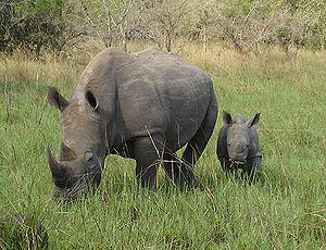 White rhinoceros - White rhino in Murchison Falls National Park, Uganda