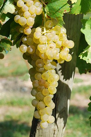 Trebbiano - Trebbiano (Ugni blanc) growing in the Charentais region in France.