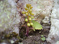 Umbilicus rupestris 001.jpg